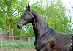 Akhal-teke horses for sale - Temirkhan(Mustang - Tagalla)
