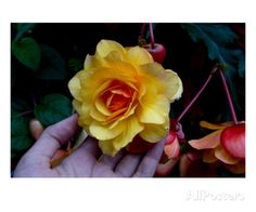 Multi textured yellow rose is held in a hand Premium Giclee Print by Charles Bowman at AllPosters.com