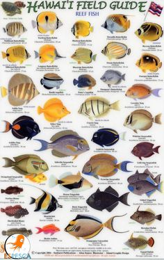 fish of hawaii Hawaii Field Guides: Reef Fish 1 (Small Fish) - 1888538015 . Saltwater Aquarium, Aquarium Fish, Saltwater Tank, Fish Chart, Kona Hawaii, Salt Water Fish, Types Of Fish, Marine Fish, Sea Fish