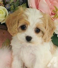 Cavachon - Mix of Cavalier King Charles Spaniel and Bichon Frisé Cavachon Puppies, Spaniel Puppies, Puppys, Havanese Dogs, Puppy Goldendoodle, Teacup Poodle Puppies, Puppy Husky, Maltese Poodle, Funny Animal Pictures