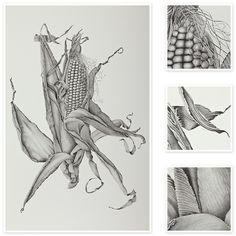 Zea Mays (Sweet Corn) | Sharon Field | Botanical Artist, Inspiration for Botanical Sketchbooks for Art Students at CAPI::: Create Art Portfolio Ideas milliande.com, Art School Portfolio Work, , Botanical, Flowers, Plants, Leaves,Stem Seed, Nature, Sketching, Herbarium