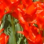Bright orange and red tulips [Pic 9 of 9] ♥ Pinterest.com/Hacks