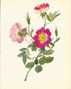 Gorgeous VINTAGE ROSE PRINT Pink Rose Antique 1965 Botanical Print Flower Wall Art Cottage Home Decor (Rose 12)