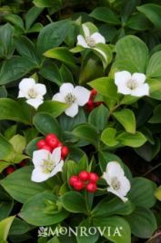 Family Cornaceae; Genus Cornus; Species canadensis; Bunchberry