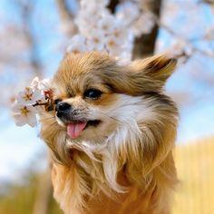 Le Chihuahua, Chihuahuas, Bellisima, Voici, Sweet, Dogs, Cute, Tattoo, Rat Dog