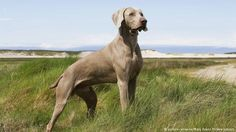 Weimaraner (picture-alliance/Mary Evans Picture Library)
