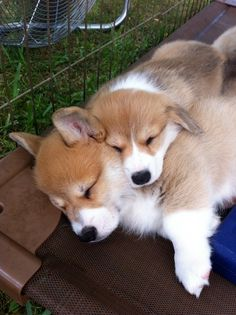 Can I join the corgi cuddle party please?!?!