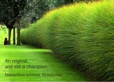 'Gracillimus' MAIDEN GRASS Miscanthus s. 'Gracillimus' This easy care grass is an excellent performer in the landscape. It forms a beautiful rounded clump of arching, finely textured, green leaves with a narrow, silver midrib. May produce silvery plumes late in the season. EXPOSURE: Full Sun to Part Shade BLOOMS: Early Fall HEIGHT: 5-6 ft SPACE: 3-4 ft ZONE: 5-9