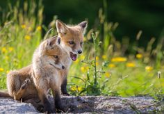 Red Fox Cubs by Demeter János on 500px
