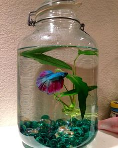 Upcycled pickle jar into a fish bowl. Meet Frilly Dilly my new Betta. Betta Fish Tank, Beta Fish, Fish Tanks, Nature Aquarium, Aquarium Fish, Betta Fish Bowl, Water Plants Indoor, Beautiful Fish, Pretty Fish