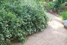White mistflower garden pinterest gardens mightylinksfo