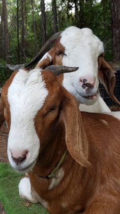 38++ Training goats to lead trends