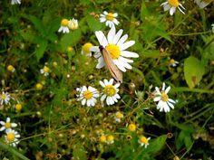 Motýl a heřmánek