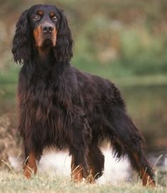 The Gordon Setter was developed by the British Duke of Richmond & Gordon in the 17th century for setting (pointing out) game birds.  It is the heaviest, slowest, and strongest of the setters, with a friendly, relaxed disposition, more prone to one-on-one relationships.  Like many working dogs, it requires vigorous daily exercise.  The Gordon is good with children and (usually) other dogs, adaptable to city life, able to handle cold, and obedient, but requires regular coat maintenance.