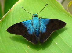 https://flic.kr/p/8Fz3wf | Frosted Flasher | Astraptes alardus - Soberania National Park