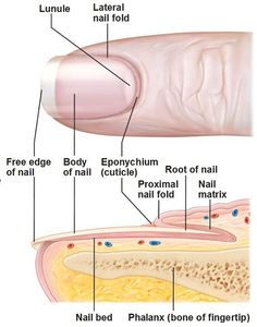 Fingernail Anatomy Finger Is One Of Equipment Human Motions