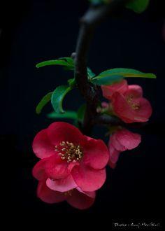 Red plum by Shuji Horikiri on 500px