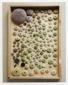 a drawer of sea urchins