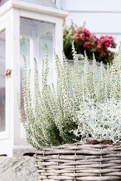 Autumn Cozy, Most Beautiful Flowers, Autumn Inspiration, Decoration, Container Gardening, Shrubs, Happy Holidays, Flower Power, Perennials