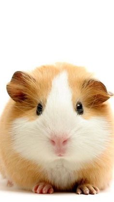 animals, guinea, pigs. via Zaklina Davitkovska. Many a home has hosted these dear guinea pigs. How adorable!
