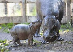 Hipopotamo bebe