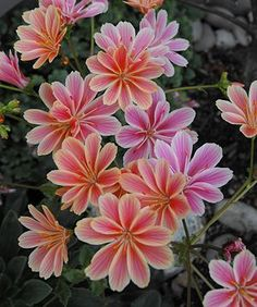 Siskiyou Lewisia (lewisia cotyledon): Lewisia cotyledon is a species of flowering plant in the purslane family known by the common names Siskiyou lewisia and cliff maids. It is native to southern Oregon and northern California, where it grows in rocky subalpine mountain habitat.  https://en.wikipedia.org/wiki/Lewisia%20cotyledon