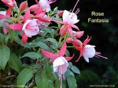 Fuchsia Rose Fantasia, Bush