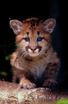 ✮ Cougar Cub... Loved bottle feeding baby cougars :)
