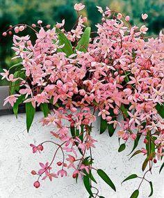 odorante, beaucoup de petites fleurs, tardive, sans taille