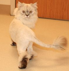 I want to shave my cat like a lion! lol Oh, and I saw a cat like this in my hallway. :)
