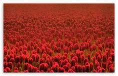 Red Tulip Field...