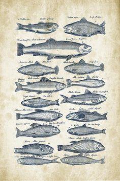 Fish Species Historiae Naturalis 08 - 1657 - 30 Digital Art