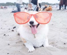 """Sneakers the CorgiThe happiest little pup in San Francisco has quite the fanbase: 113,000 Instagram followers and counting. The Pembroke Welsch corgi, who frequently appears with costumes on his popular social media page, is otherwise a normal dog; he likes the beach, belly rubs, and apparently, the reality TV show """"Vanderpump Rules."""""""