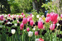 tulipanes - Google Search