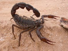 Scorpions parabuthus | Southern African Spitting Scorpion (Parabuthus transvaalicus)