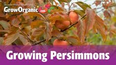 Persimmon Tree Growing Zone Many Land Grant Universities Offer Helpful Charts Of Good Pollinizer