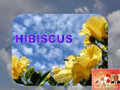 HIBISCUS by Gyula Dio  via slideshare