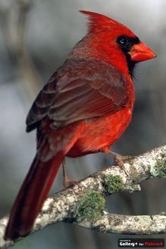 cardinal. West virginia state bird.