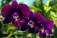 Purple dendrobium orchids, Orchid Garden, Bali