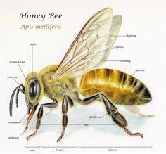 Bee Morphology on Behance
