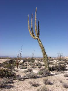 Trees of Baja California Sur   Biodiversidad en México