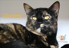 I'm Charlotte. Could you be my forever family? I'm a two year old girl with a striking coat that's a mix of copper, tan and black. My adoring gold eyes are looking for someone to love. I enjoy being combed to keep my fur soft and fluffy.