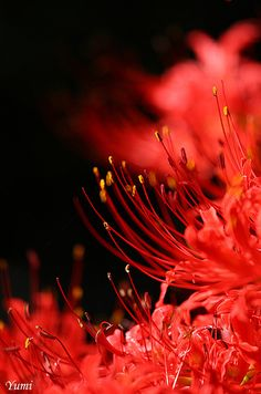 Easy To Grow Houseplants Clean the Air Red Spider Lily # Flowers Nature, Beautiful Flowers, Red Spider Lily, Album Design, Red Aesthetic, Scenery, Tokyo Ghoul, Photos, Image