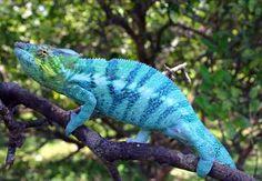 Curiosidades y fotos de animales: Camaleón