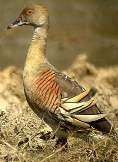 The Plumed Whistling Duck (Dendrocygna eytoni), also called the Grass Whistle Duck, is a whistling duck that breeds in New Guinea and Australia.