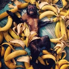 We have gone BANANAS  10% off all #sunglasses this weekend  Use code: #SiliSummer10 to treat yourself  Shop at: www.silisunglasses.com.au #silisunglassesaustralia #eyewear #cute #monkey #funny #friends #smile #instamood #netflixandchill #amazing #bananas #fruit #fun #lol #hot #fit #fashion #sun #beach #cheeky #naughty #animal #cool #humour #sale #nature #summer #bmx