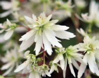 Saxifraga fortunei Moe - Soft creamy white flowers and apple-green foliage on this super Japanese Saxifrage. Shade Plants Container, Woodland Plants, Creamy White, White Flowers, Japanese, Apple, Green, Art, Apple Fruit