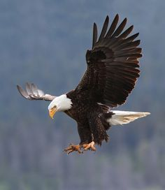 Bald Eagle <><> More info: Eagle Images, Eagle Pictures, Bird Pictures, The Eagles, Wings Like Eagles, Nature Animals, Animals And Pets, Beautiful Birds, Animals Beautiful