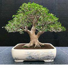 Bonsai Trees, Ficus, Plants, Bonsai, Plant, Figs, Fig, Planets, Ficus Tree