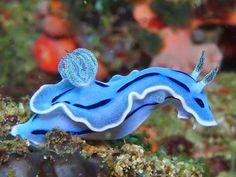 Blue Sea Slug by catrulz